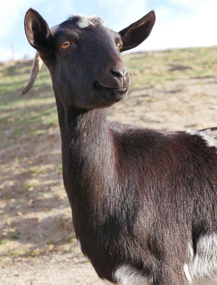 La cabra Abril espera para ser apadrinada en Santuario Vegan