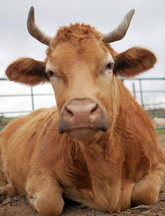 La vaca Antonia espera para ser apadrinada en Santuario Vegan