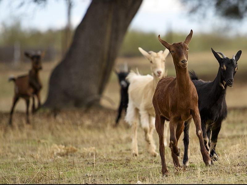 cabras felices rescatadas