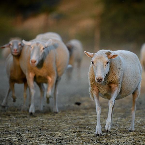 ovejas rescatadas