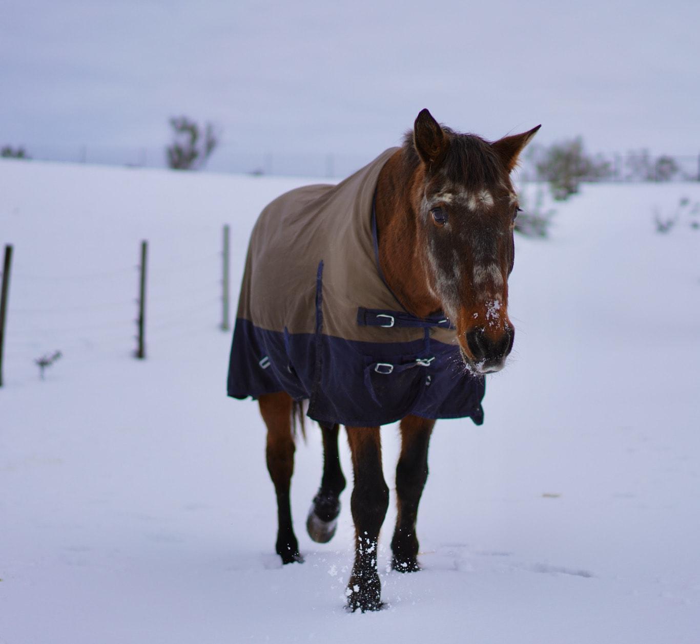 Apadrina caballo Nogal