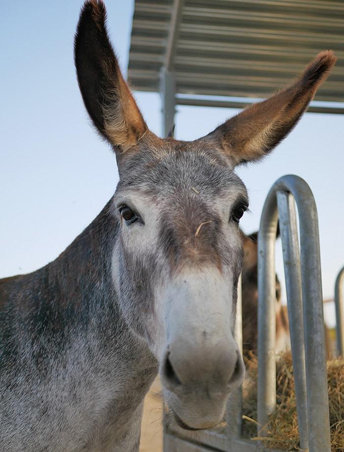 El burro Hansel espera para ser apadrinada en Santuario Vegan