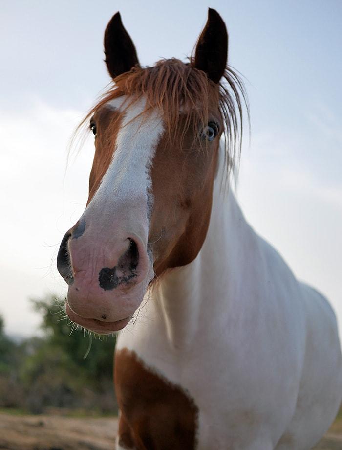 El caballo Hauzi espera para ser apadrinada en Santuario Vegan