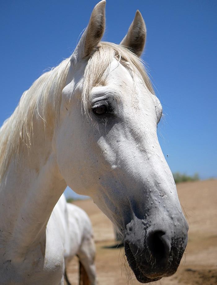 El caballo Yeti espera para ser apadrinada en Santuario Vegan