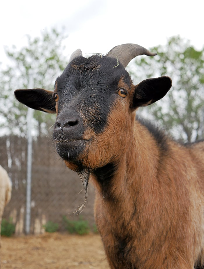 amadrina cabra evaristo