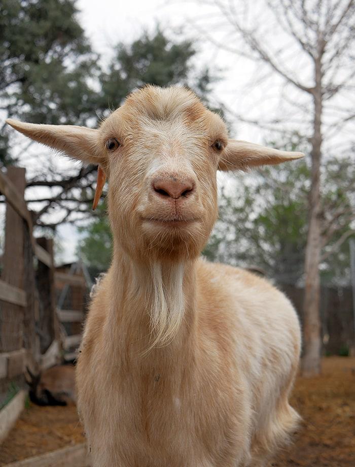 amadrina cabra galicia
