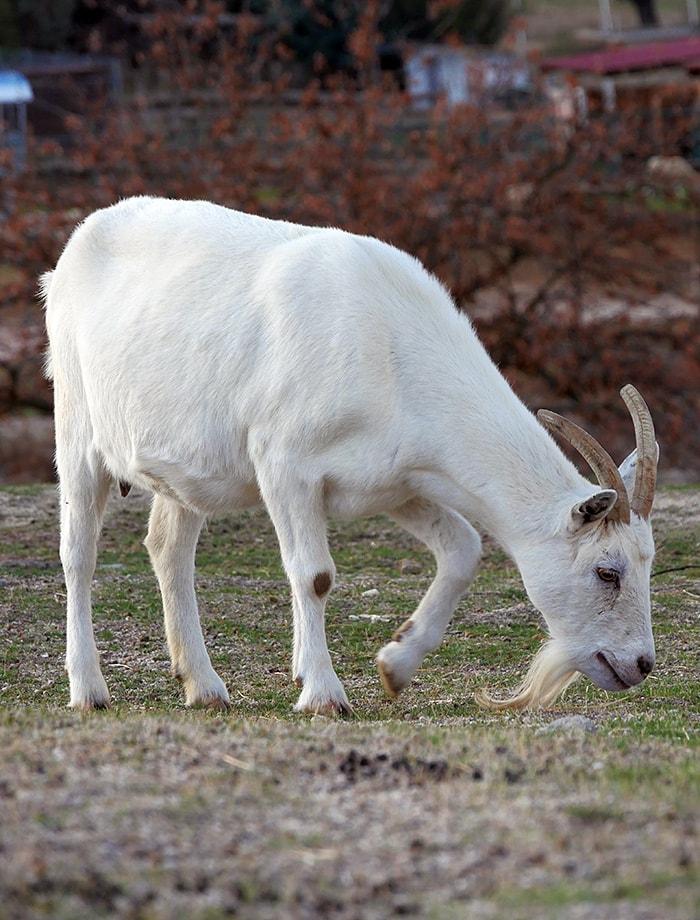 amadrina cabra iraultza