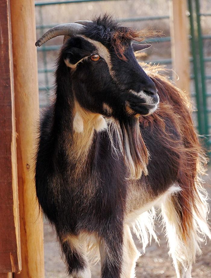 amadrina cabra isa