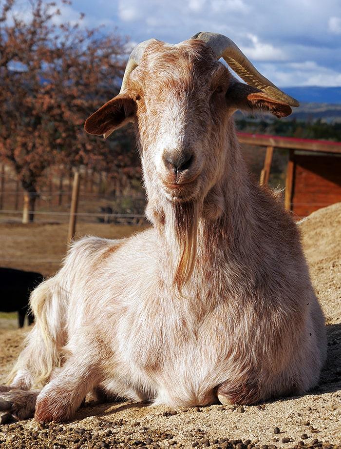 amadrina cabra pippin
