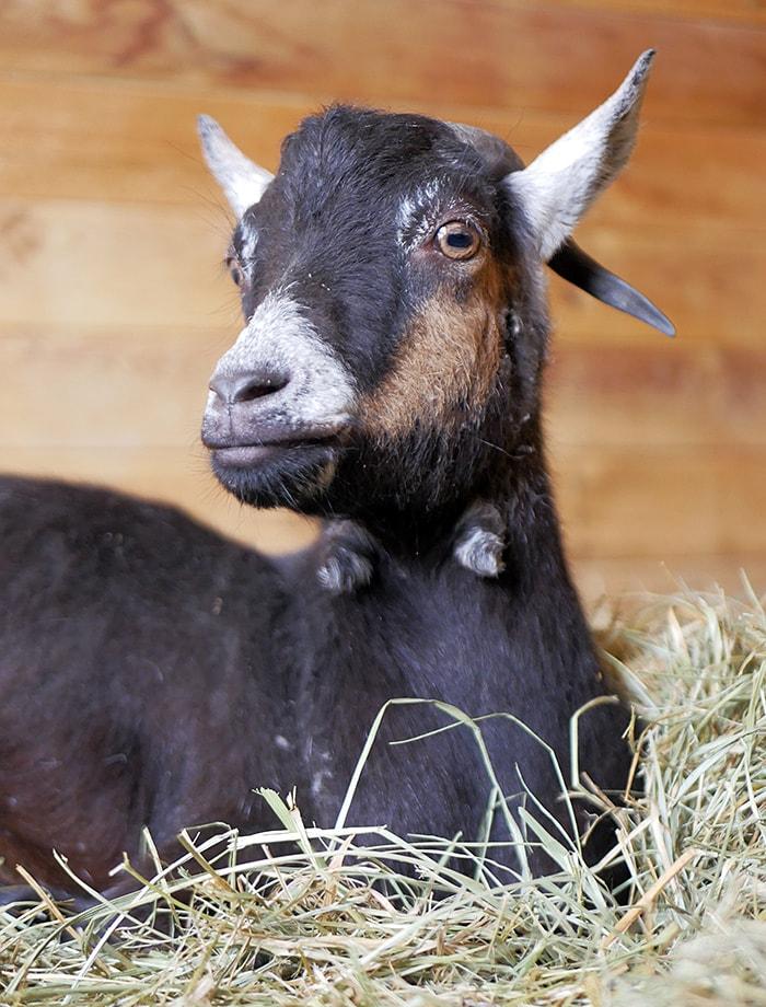 amadrina cabra rob