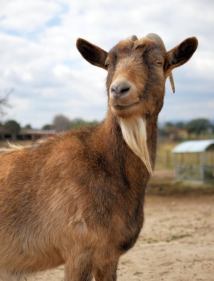 apadrina cabra alexia