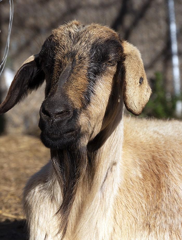 apadrina cabra amelia