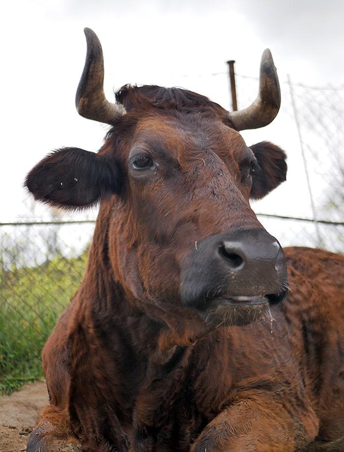 apadrina vaca ivana