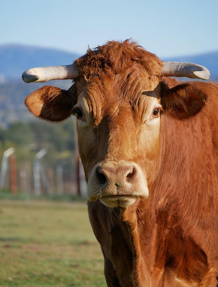 apadrina vaca monica 01