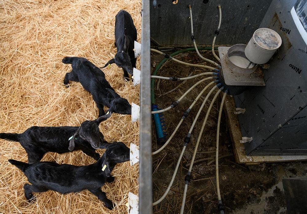 lucha maltrato animal ovejas 03