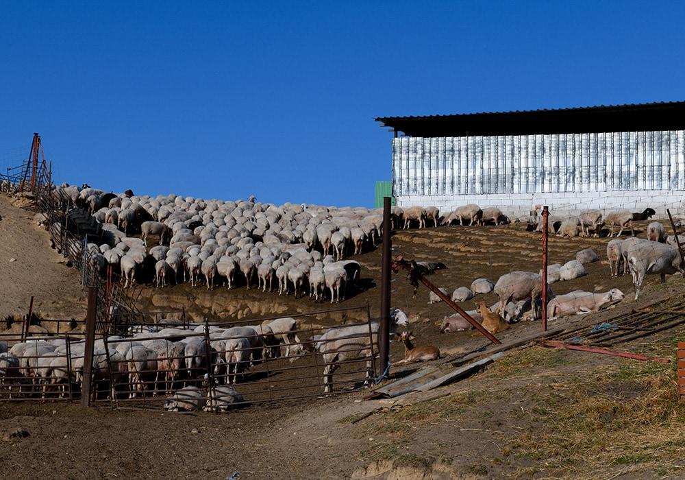 lucha maltrato animal ovejas 33
