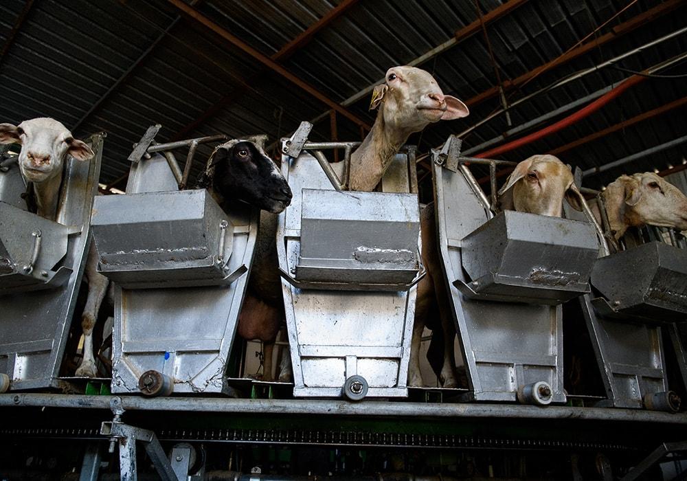 lucha maltrato animal ovejas 36