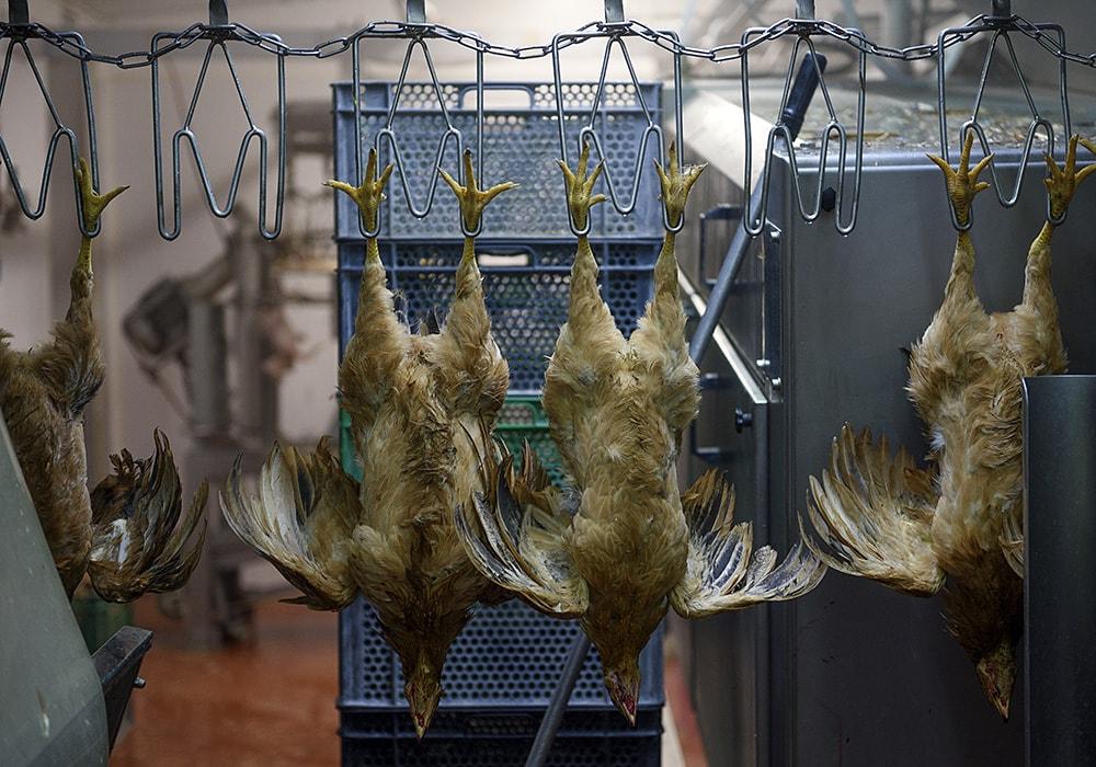 lucha-maltrato-animal-pollos-05