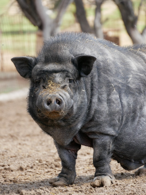 Apadrina cerdo Adolfo