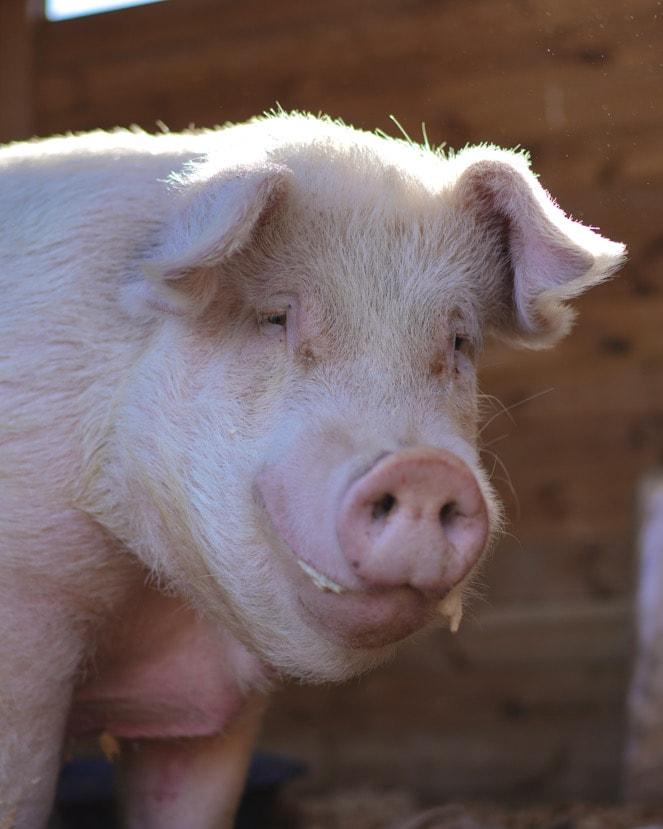Apadrina animales santuario cerdo rescatado