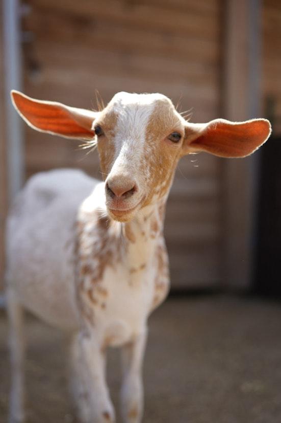 Apadrina a una cabra como Cheryl