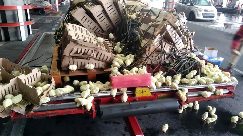 el dia que 20000 pollitos acabaron abandonados en el aeropuerto de barajas 02