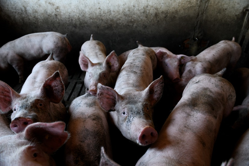 Maltrato de cerdos