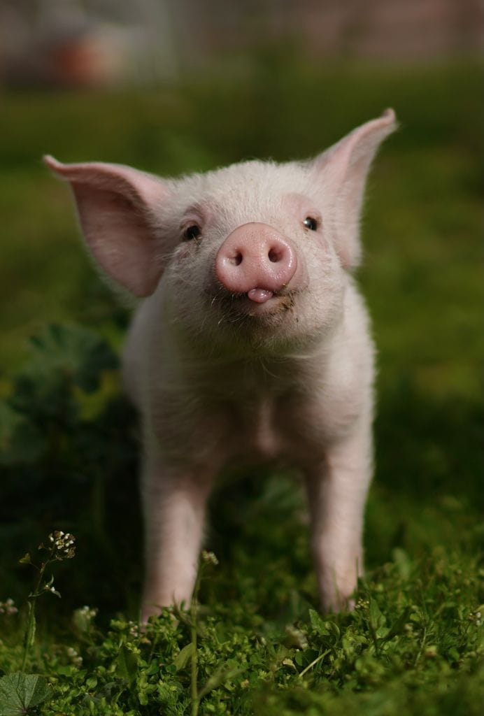 Sakura, un bebé de cerdo que cayó de un camión