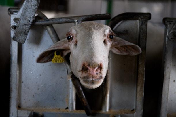 maltrato oveja