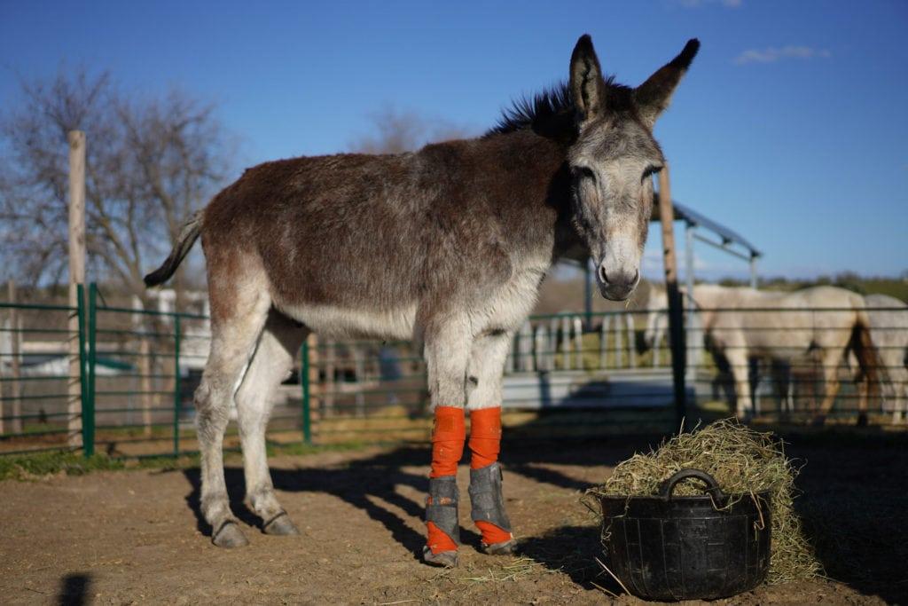 Sabanero, un burro anciano rescatado en Fundación santuario vegan