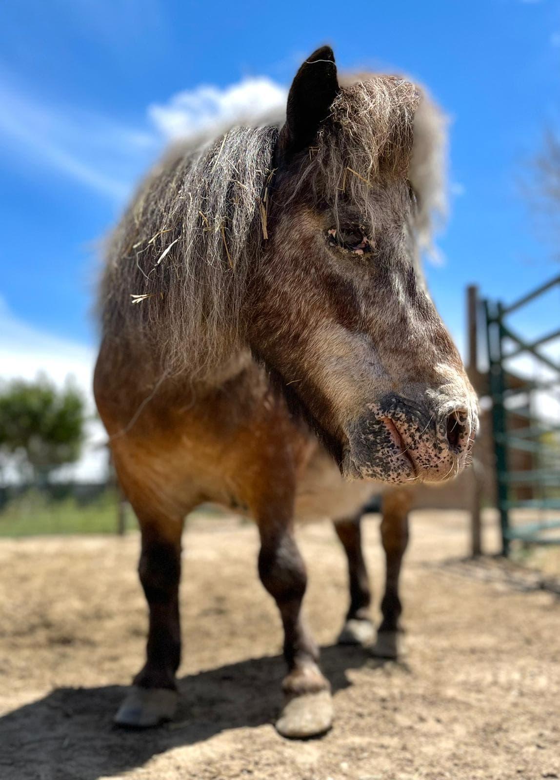 Algarrobo, un pony de feria rescatado