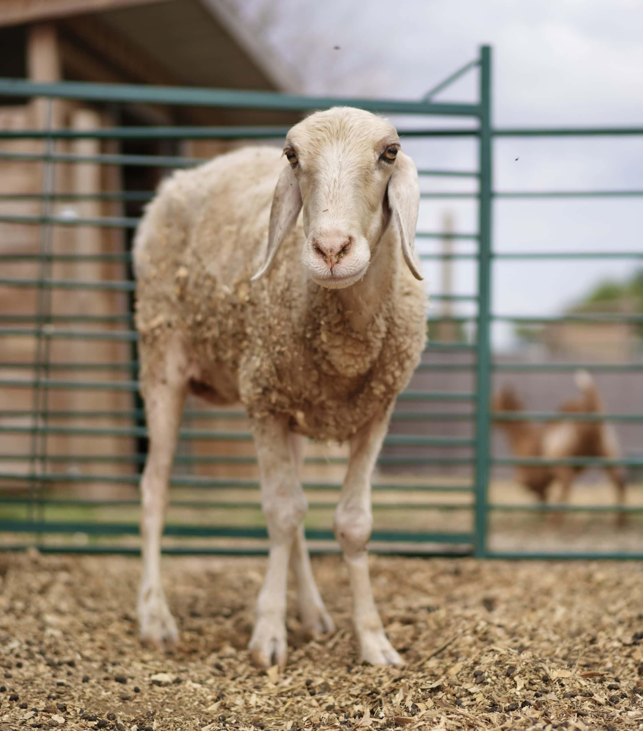 Apadrina oveja Catalina