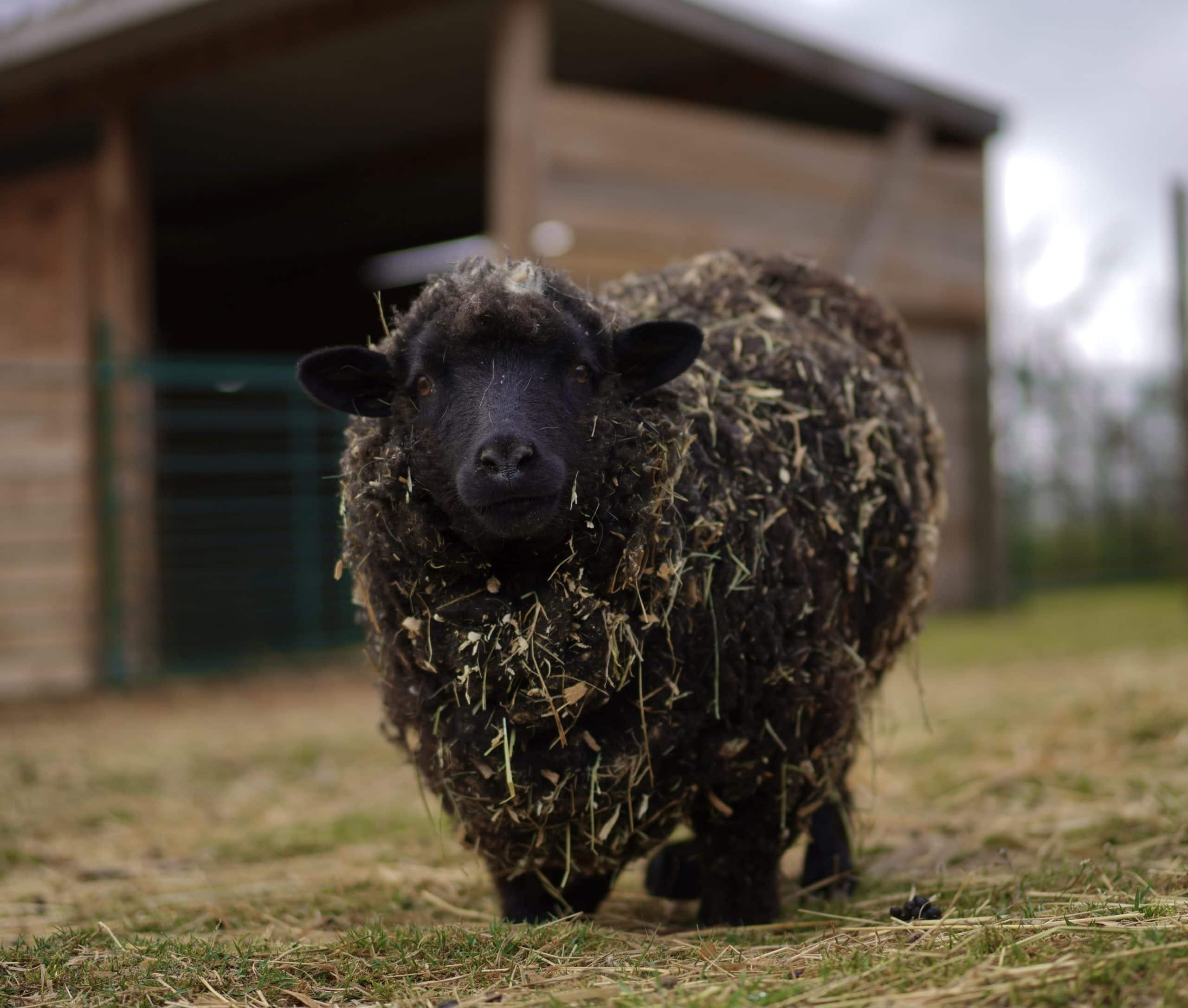 Apadrina oveja Flor