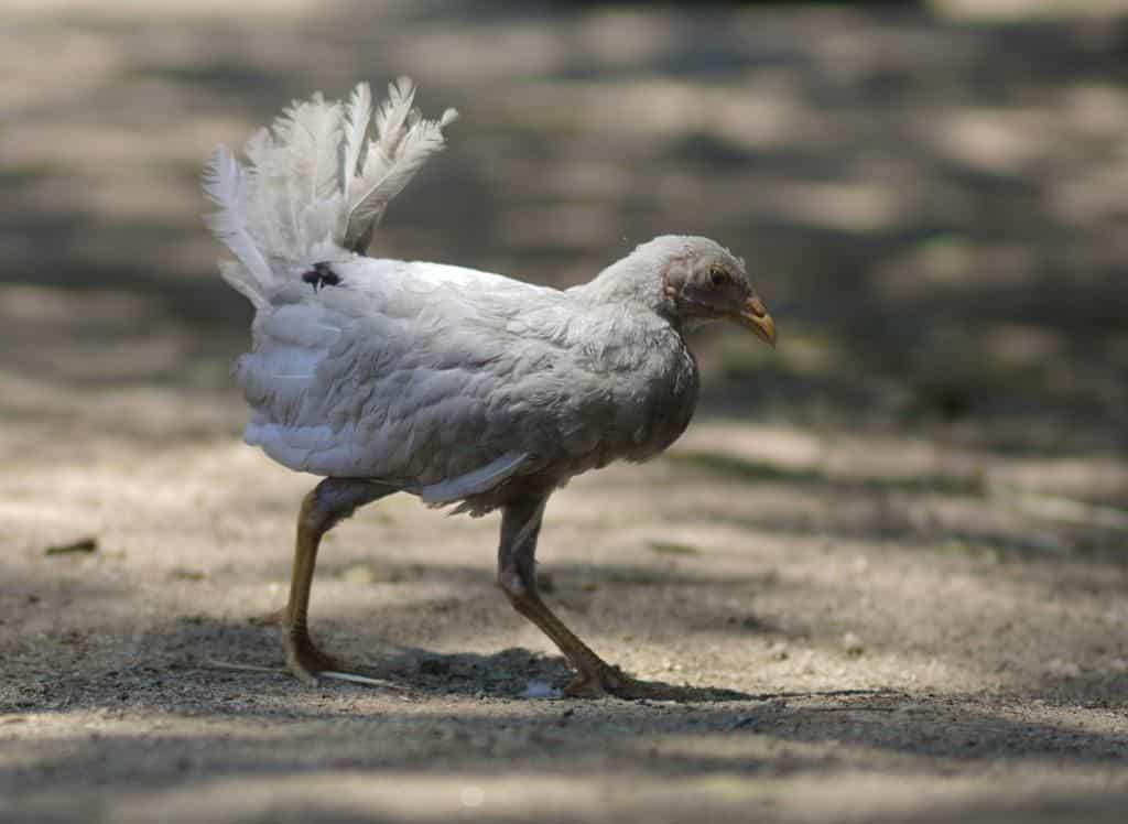 Duende pollito rescatado