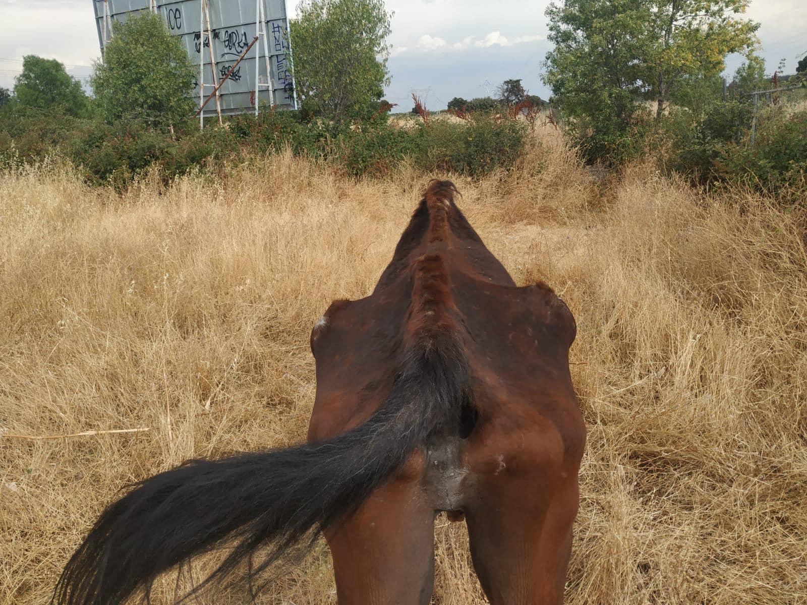 Avellano, un caballo maltratado