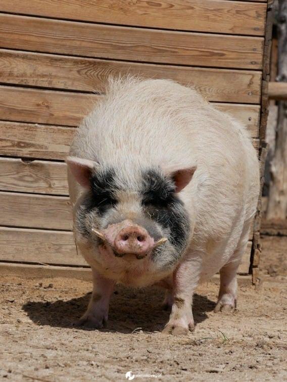 Apadrina cerdo Bartolo