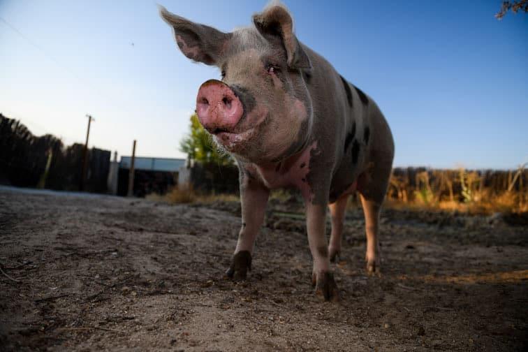 Apadrina cerdo Agustín