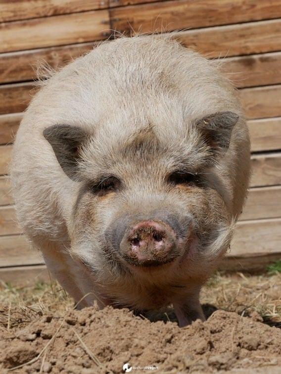 Apadrina cerdo Big Boy