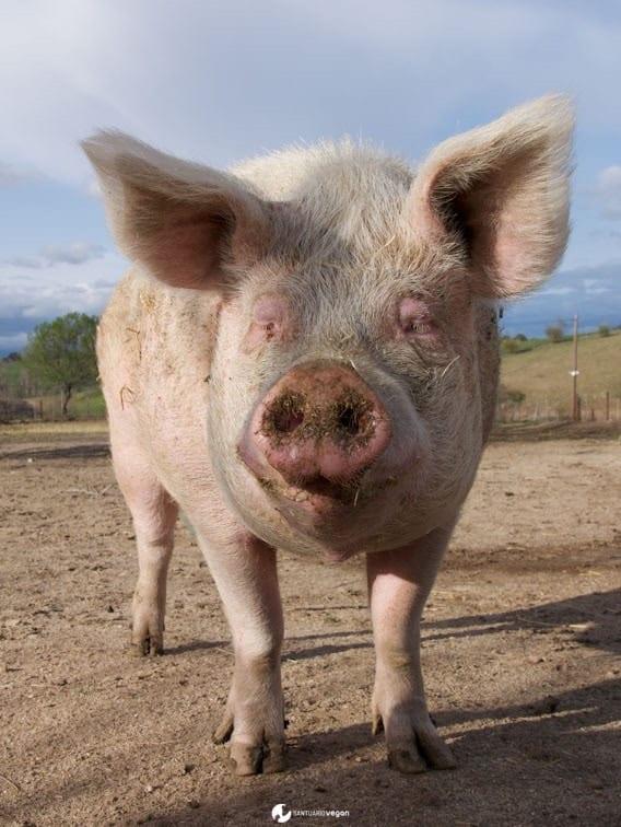 Apadrina cerdo Herz