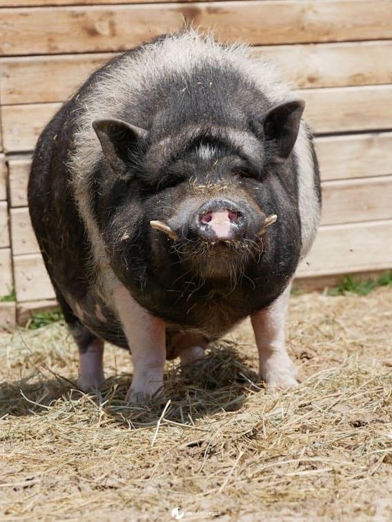 Apadrina cerdo Julito