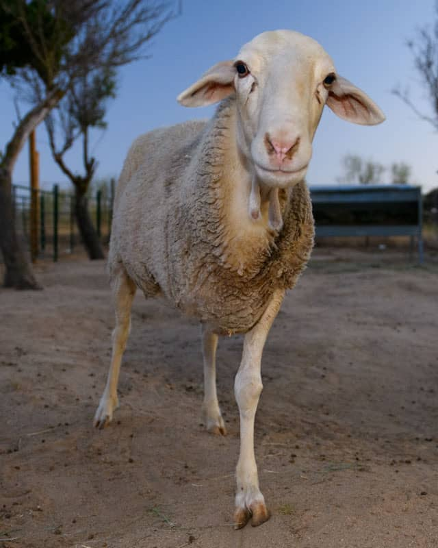 Apadrina oveja Frida