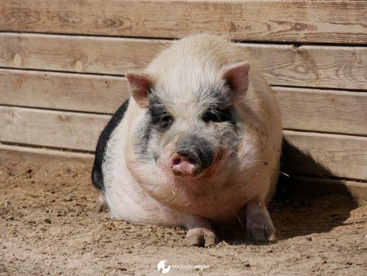Apadrina cerdo Lola