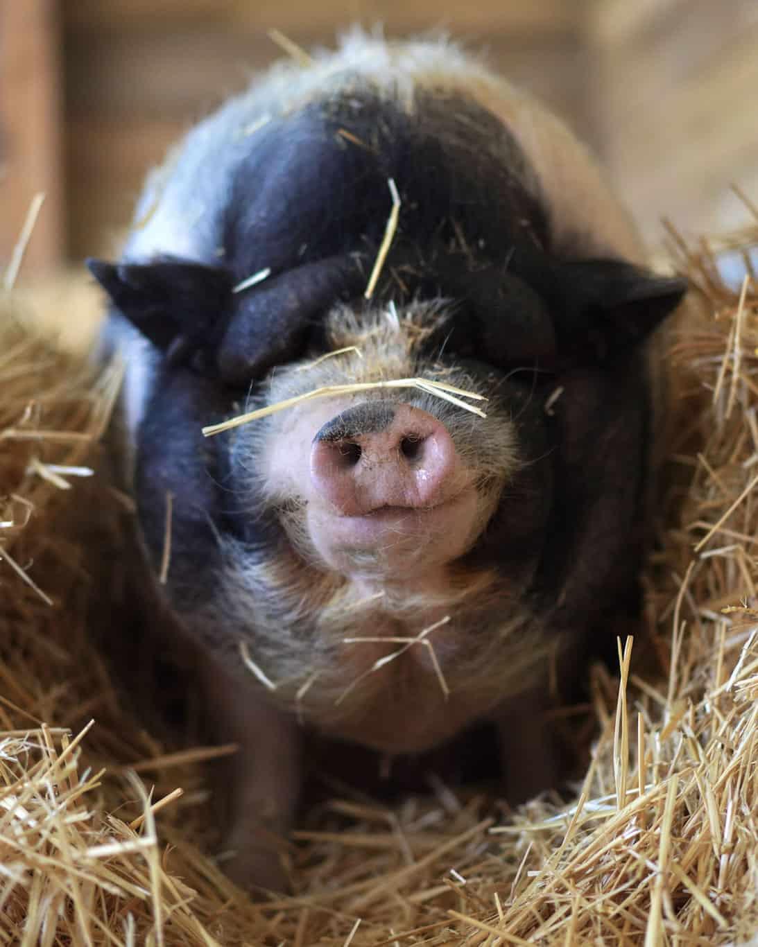 Apadrina cerdo Marino