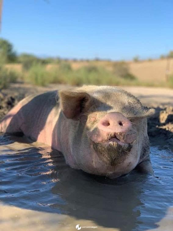 Apadrina cerdo Galon