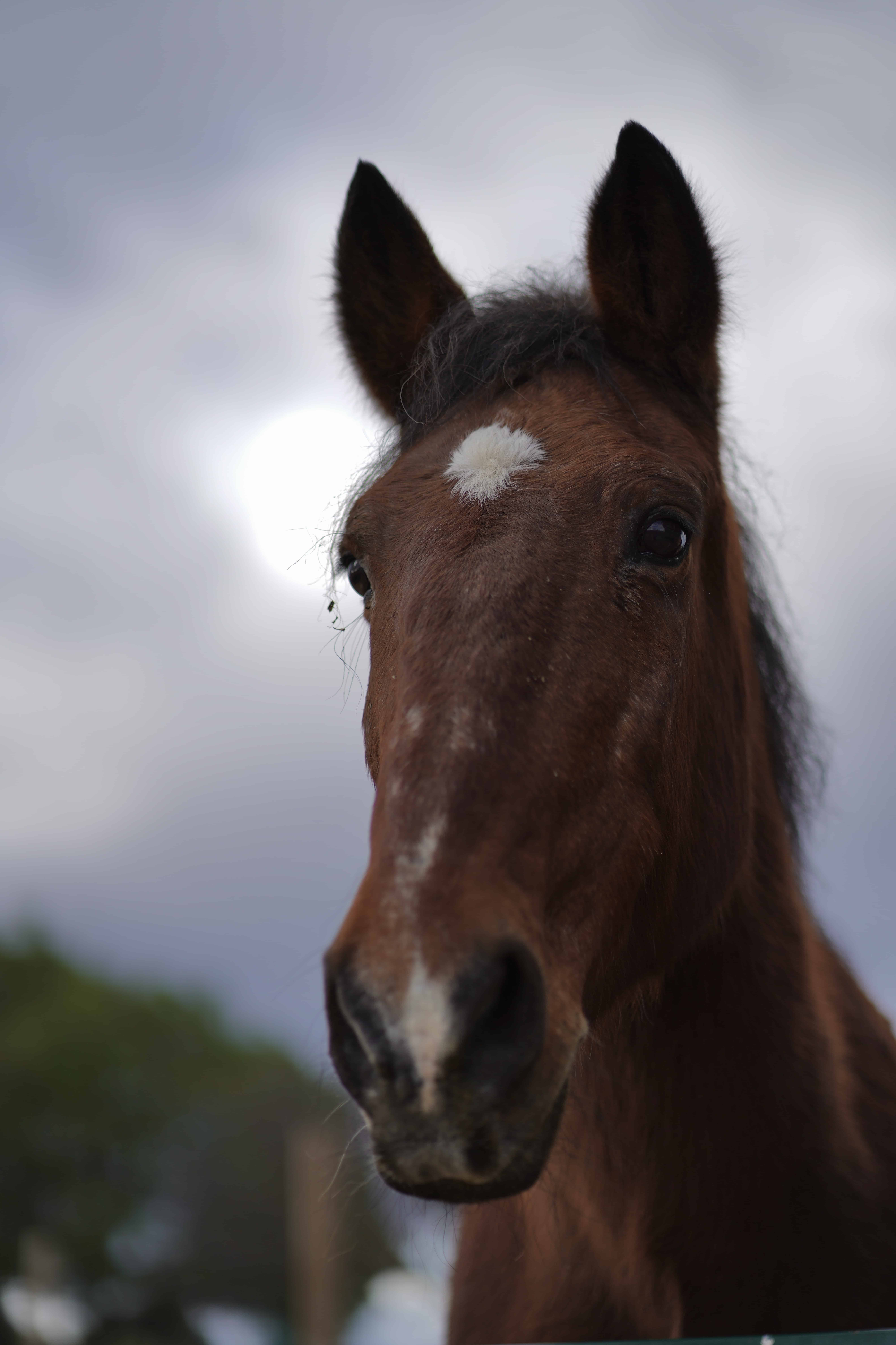 Apadrina caballo Avellano