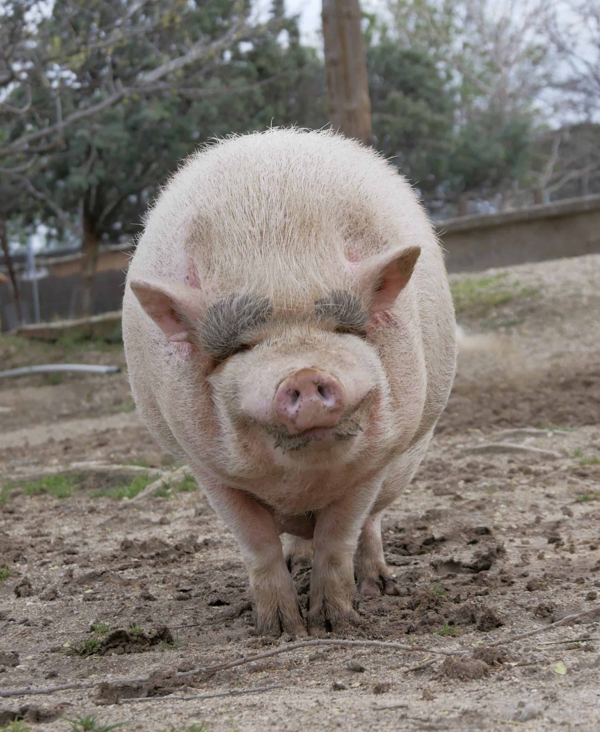 Apadrina cerdo Enriquito