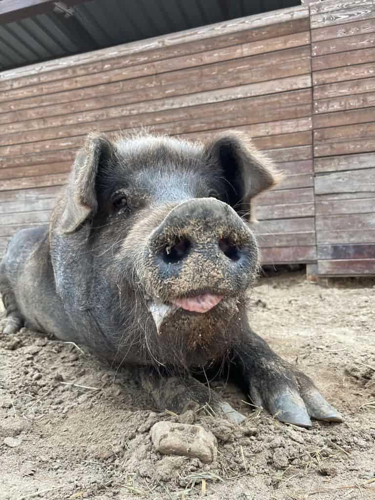 Cerdo Pancho